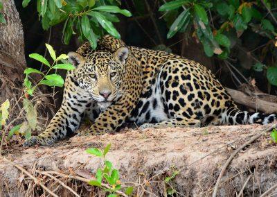 A Pantanal Jaguar