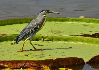 Striated Heron on a Giant Water Lily Pad