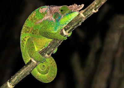 O'Shaughnessy's Chameleon