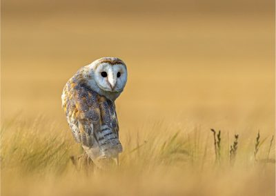 Barn Owl by John Hastings - Annual DPI Winner