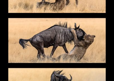 Death of a Blue Wildebeest