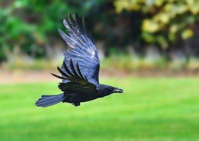 Crow & Stag Beetle