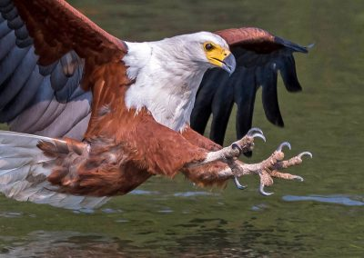 Fish Eagle about to pounce