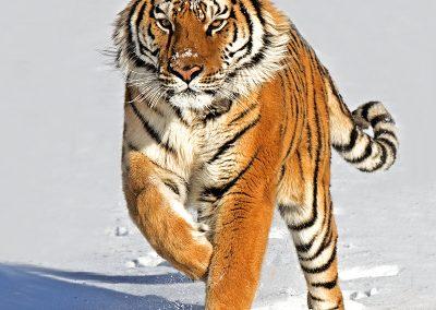 Siberian_Tiger