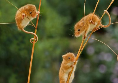 Three Harvest Mice