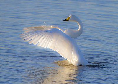 Whooper_Swan