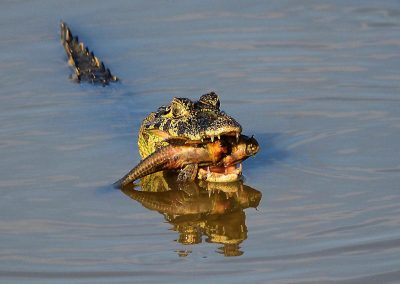 Yacare Caiman Crocodile with Catfish