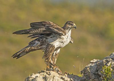 Bonnelis Eagle