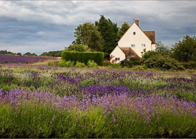 Cotswolds Lavender