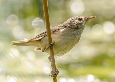 Read warbler