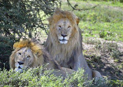 Serengeti_Lions