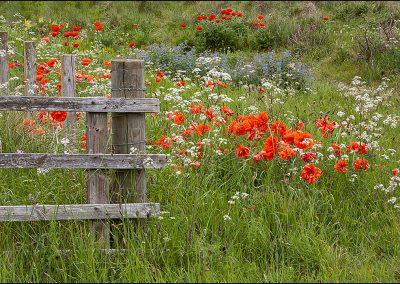 Wild flowers_