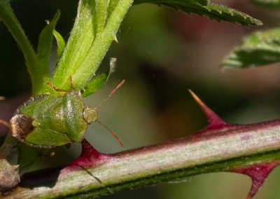 sheld bug