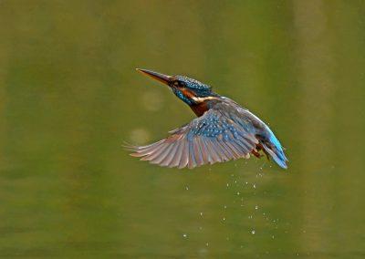 Emerging Kingfisher